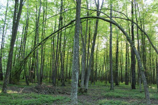 Арденнскій лес у Шомон-ля-Сон-2