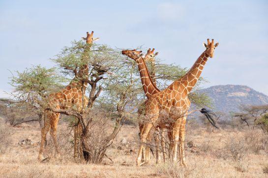 Жирафы. Кения 2011