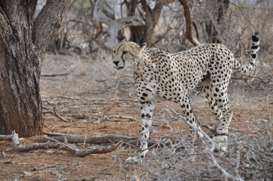 Пантера. Кения 2011