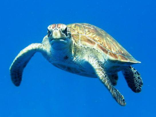 snorkling_turtle