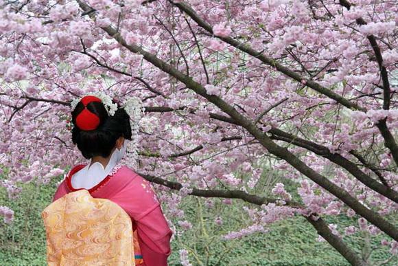 Гейша-цветущая-сакура_новый размер