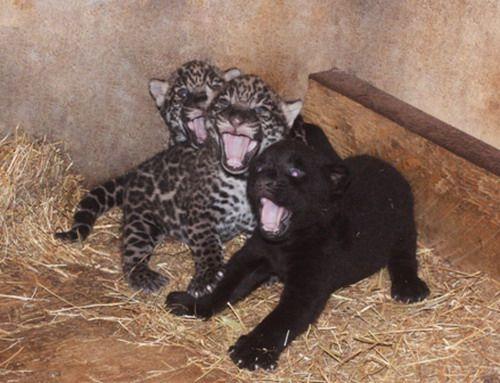 Baby_Jaguars