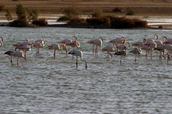 Рас аль-Хайма фламинго